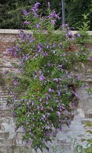 Buddleja davidii growing out of a wall