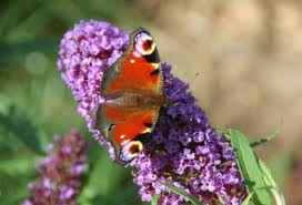 Peacock Butterfly on a Buddleja raceme