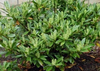 Cherry Laurel bush with flowering spikes in early stage