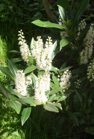 Cherry Laurel flowering spikes at late stage