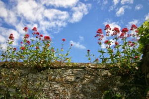 Red Valerian growing on top of a wall