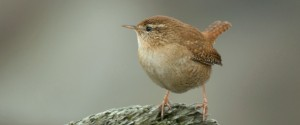 Wren on rock