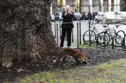 Fox in Leinster House car park in the winter of 2013 (Source: Sasko Lazarov via Photocall Ireland, reproduced in Journal.ie)