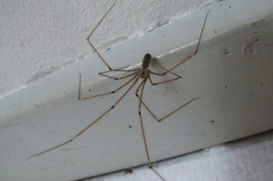 Short-Bodied Cellar Spider without web (Photo source: internet)