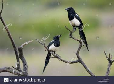 pair-magpies-tree-branches
