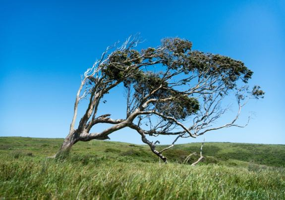 Tree Bent by Wind in Grass